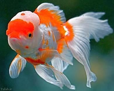 دانلود پاورپوینت شرکت تولید ماهیان تزئینی